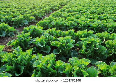 Chinese cabbage is in the fields