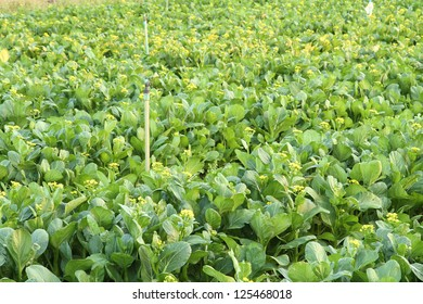 chinese cabbage flower in farm