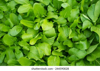 Chinese Cabbage , Chinese leaf vegetables