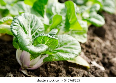 Chinese cabbage,Bok choy or pak choi in a farm,organic vegetables