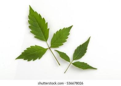 Chinese chaste, Indian privet, Negundo chest nut (Vitex negundo L.)  or Medicinal Nishinda leaves