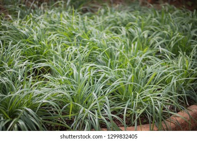 Chinese chives,Garlic chives in garden.