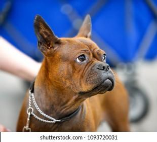 Chinese Chongqing Dog rare breed portrait close-up