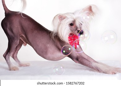 Chinese Crested Dog is a breed of dog. Dogs of this breed can be either hairless - naked individuals (hair is found only in the head, tail and extremities), and with soft veil-like hair covering the w