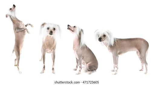 Chinese Crested dog collection isolated on white