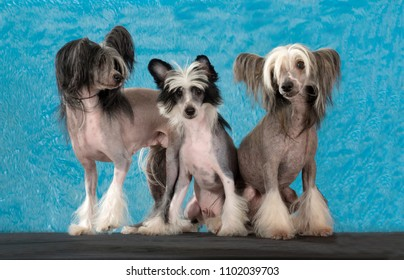 Chinese Crested dog, family portrait, isolated on Blue and furry background, In studio.