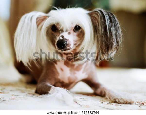 Chinese Crested Dog female lying