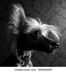 Chinese crested dog head portrait indoor