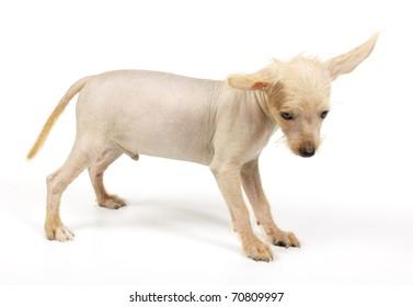 Chinese crested dog isolated against white background