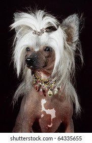 Chinese crested dog portrait with hair styling in studio