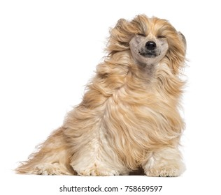 Chinese Crested dog sitting with its eyes closed in the wind against white background