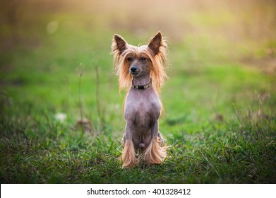 Chinese Crested dog is sitting on the grass - Shutterstock ID 401328412