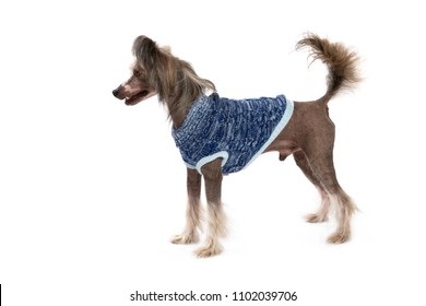 Chinese Crested dog, Standing dressed isolated on white background, In studio.