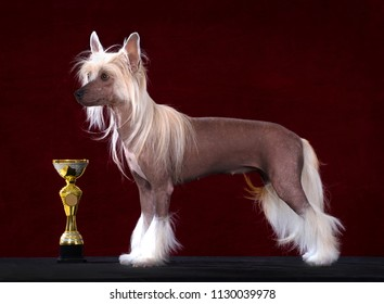Chinese Crested dog stands beside a best of breed winning trophy, Isolated on dark red background