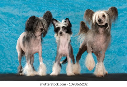 Chinese Crested family portrait, isolated on Blue and furry background, In studio.