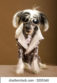 Chinese crested hairless,
