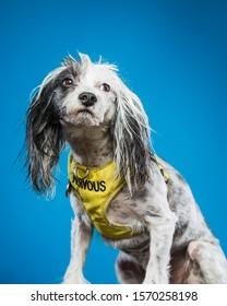 Chinese Crested Nervous Dog Portrait