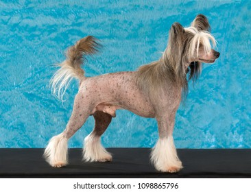 Chinese Crested portrait, Standing side profile isolated on Blue and furry background, In studio.