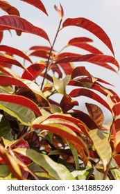 Chinese Croton plant with sky background