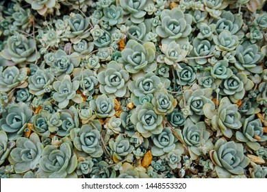 Chinese dunce cap succulent cluster
