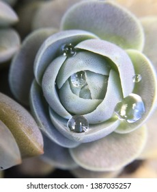 Chinese Dunce Cap Succulent with Raindrops