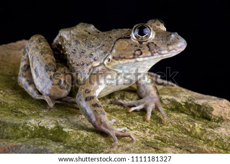 The Chinese edible frog (Hoplobatrachus rugulosus) is widespread from central, southern and south-western China including Taiwan, Hong Kong and Macau and is hunted and eaten across its range.