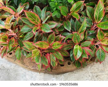 Chinese Evergreen. It has green leaves, the edge of the leaf and the petiole are bright red in color. It is a beautiful ornamental plant on the leaves. Known as the king of ornamental plants.Aglaonema