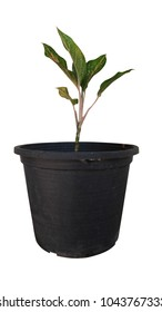 Chinese Evergreen in pot on white background.