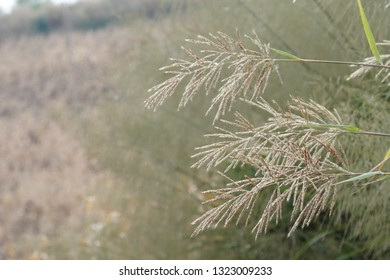 Chinese fairy grass, Susuki Grass or Miscanthus sinensis