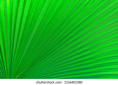 Chinese fan palm leaf texture