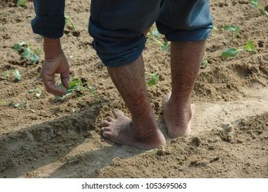 Chinese farmer planting Bok Choy
