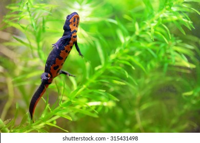 A chinese fire belly newt, Cynops Orientalis, swimming between aquatic plants Egeria Densa