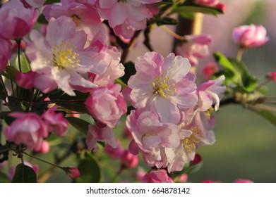Chinese flowering crab-apple blooming