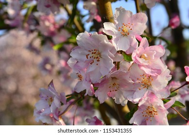Soft white flowering crabapple tree in spring images stock photos chinese flowering crab apple in spring mightylinksfo