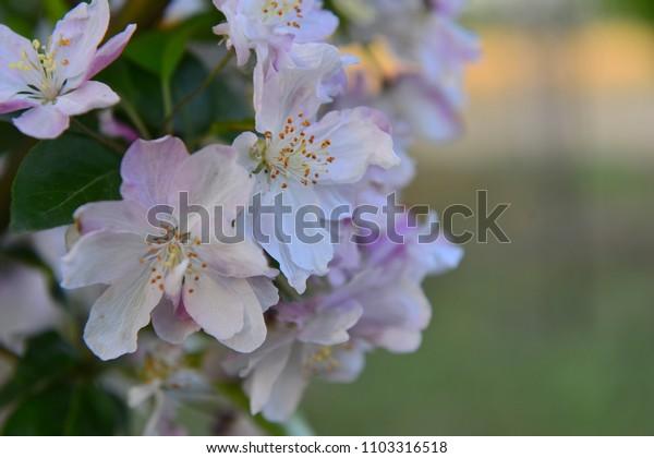 Chinese flowering crab-apple in spring