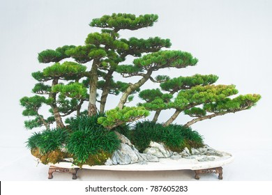 Chinese forest style bonsai isolated on white