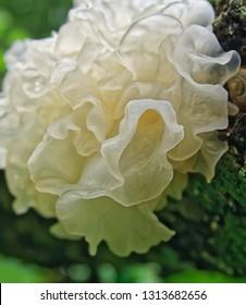 Chinese gelatinous fungi. Tremella fuciformis