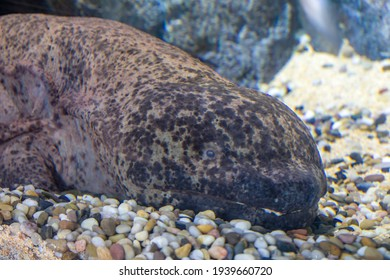 The Chinese giant salamander (Andrias davidianus) is one of the largest salamanders and one of the largest amphibians in the world. It is fully aquatic and is endemic to  Yangtze river basin China.