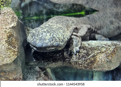 Chinese giant salamander in freshwater aquarium, selective focus.