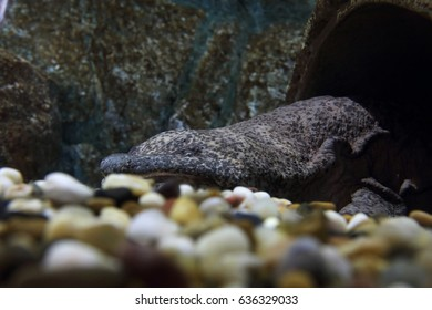 A Chinese Giant Salamander peeking out from its hide