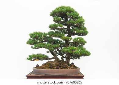 Chinese green bonsai tree isolated on white