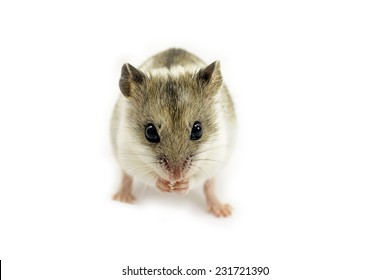 Chinese hamster isolated on white (Cricetulus griseus).