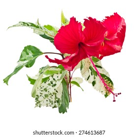 Chinese hibiscus or China rose, isolated on white background and clipping path