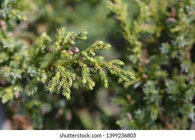Chinese juniper Blue Alps - Latin name - Juniperus chinensis Blue Alps