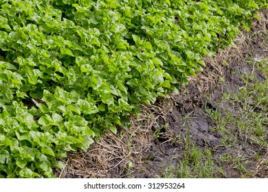 Chinese kale vegetable in the Pesticide residue free garden