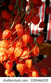 Chinese lantern plant (Physalis alkekengi) at the florist on the market in fall