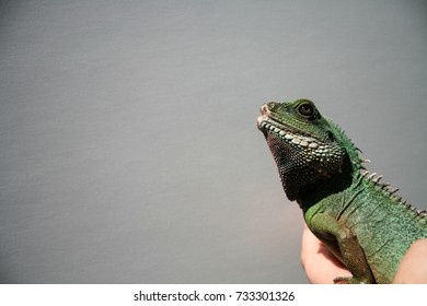 Chinese lizard looking up