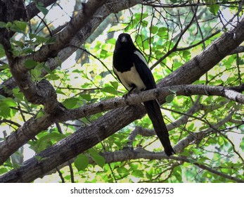Chinese magpie