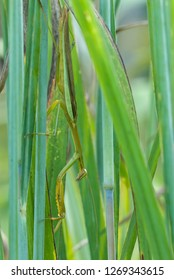 Chinese mantid (Tenodera ardifolia) hiding among grass stalks, displaying its near-perfect camouflage. Mantis remains absolutely still, waiting for a grasshopper or other prey to come within reach.