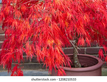 Chinese maple tree in terracotta flowerpot in the fall